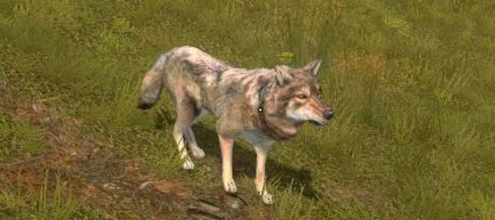 Rzadko spotkacie pojedynczego wilka