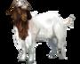 Koza burska